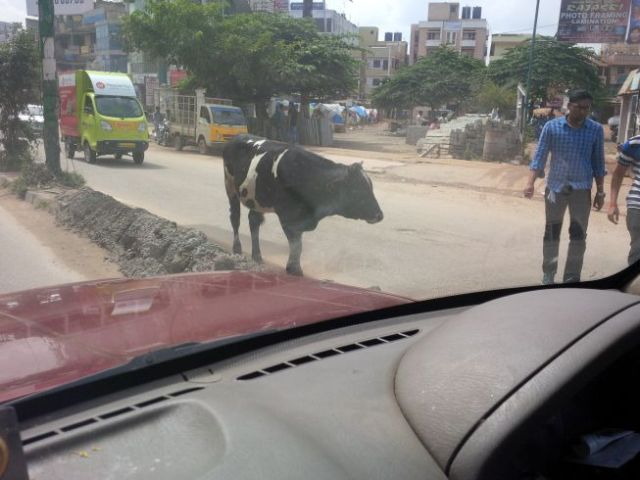 Cows care not of traffic.
