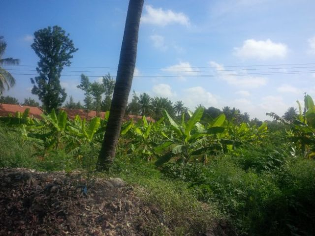 These are banana trees.