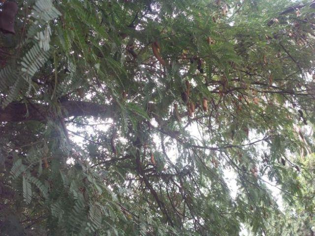 Tamarind tree.